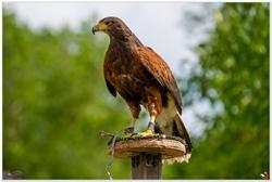Roofvogelshow Ruben van Maaren Nieuw Vossemeer 450 jaar 2017
